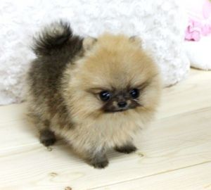 Micro Tiny Teacup* Pomeranian* #teacupdogslist #teacupdogs #teacupbreeds #popularTeacups