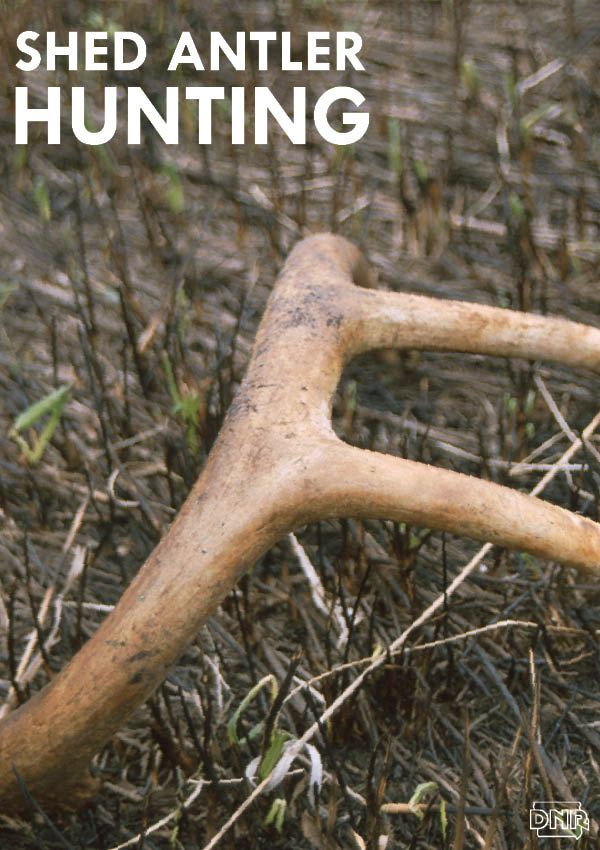 Go Shed Antler Looking