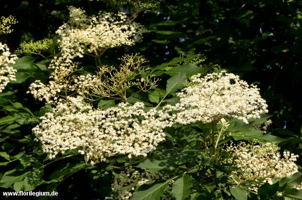 Schwarzer #Holunder #Holler #Sambucus-nigra http://www.florilegium.de/blog/pflanzen/heimische-wildpflanzen-und-wildkraeuter/schwarzer-holunder-oder-holler-sambucus-nigra.html