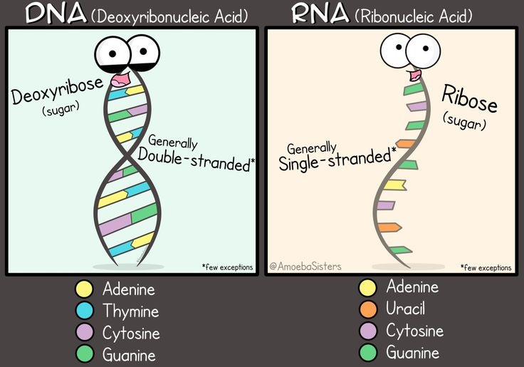 A little DNA and RNA comparison graphic! Poster available on Redbubble!
