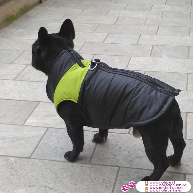 Chaqueta sin mangas Verde atadas en la espalda #ModaCanina #BulldogFrances - Nueva colección de moda para vestir perros: Chaqueta acolchada a prueba de viento sin mangas, hecha de tela sintética, en color negro con banda Verde