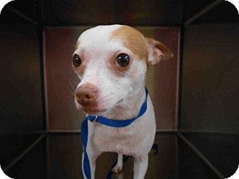 Fort Myers, FL - Chihuahua. Meet BUDDY, a dog for adoption. http://www.adoptapet.com/pet/18239939-fort-myers-florida-chihuahua
