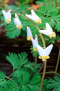 175 best herbs and wildflowers images on pinterest beautiful dutchmans breeches dicentra cucullaria fandeluxe Image collections