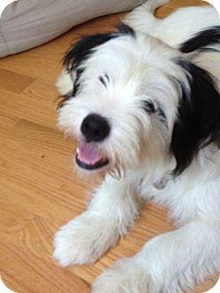 West Warwick, RI Havanese/Tibetan Terrier Mix. Meet