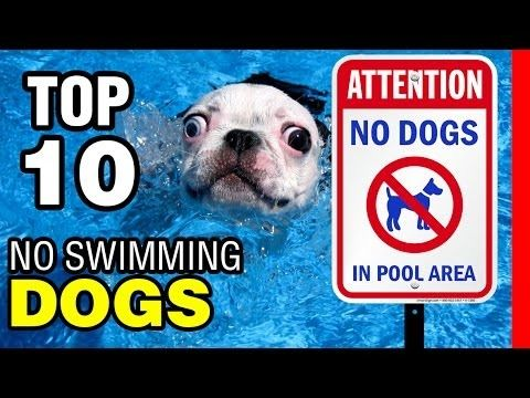 It turns out short legs and a dense body do not compliment water well. Watch this video to see why! https://youtu.be/2YnzzibTroc?utm_campaign=coschedule&utm_source=pinterest&utm_medium=Pawfection