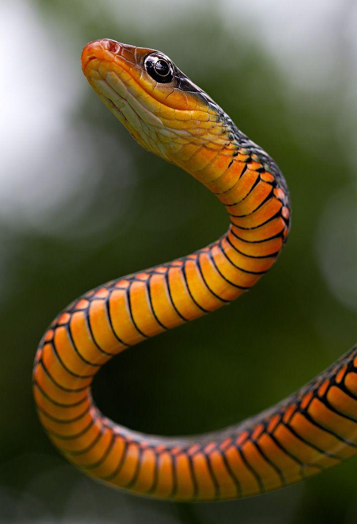 yellow mamba snake - photo #38