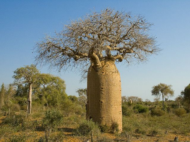 The baobab was among the first trees to appear on the land. Next came the slender, graceful palm tree. When the baobab saw the palm tree, it cried out that it wanted to be taller. Then the beautiful flame tree appeared with its red flower and the baobab was envious for flower blossoms. When the baobab saw the magnificent fig tree, it prayed for fruit as well. The gods became angry with the tree and pulled it up by its roots, then replanted it upside down to keep it quiet.