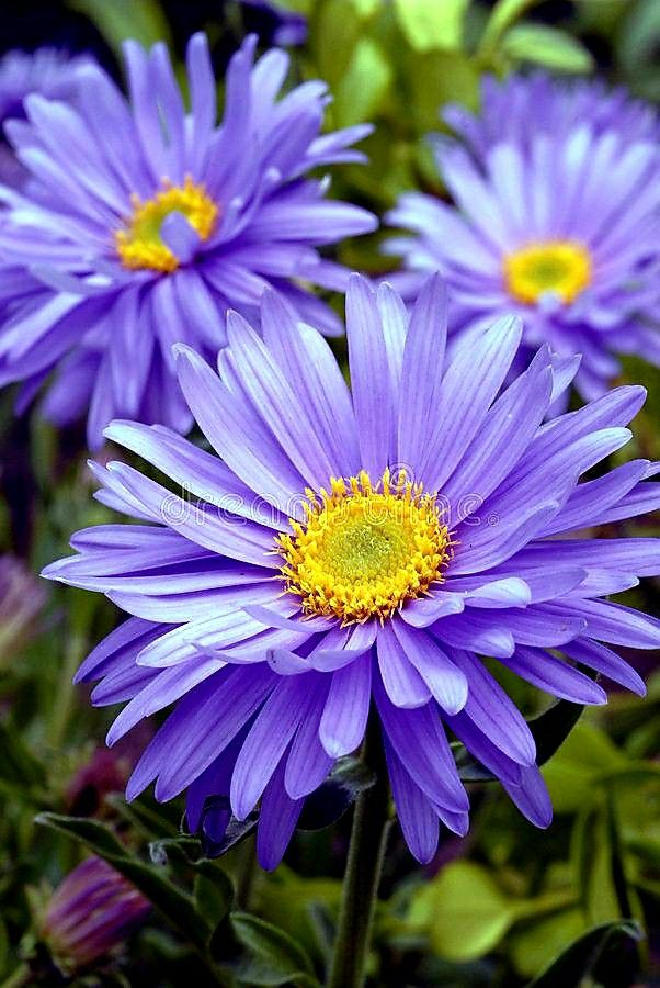 Pin By Sire Milan On Tattoos In 2020 Alpine Flowers Aster Flower Tattoos September Flowers