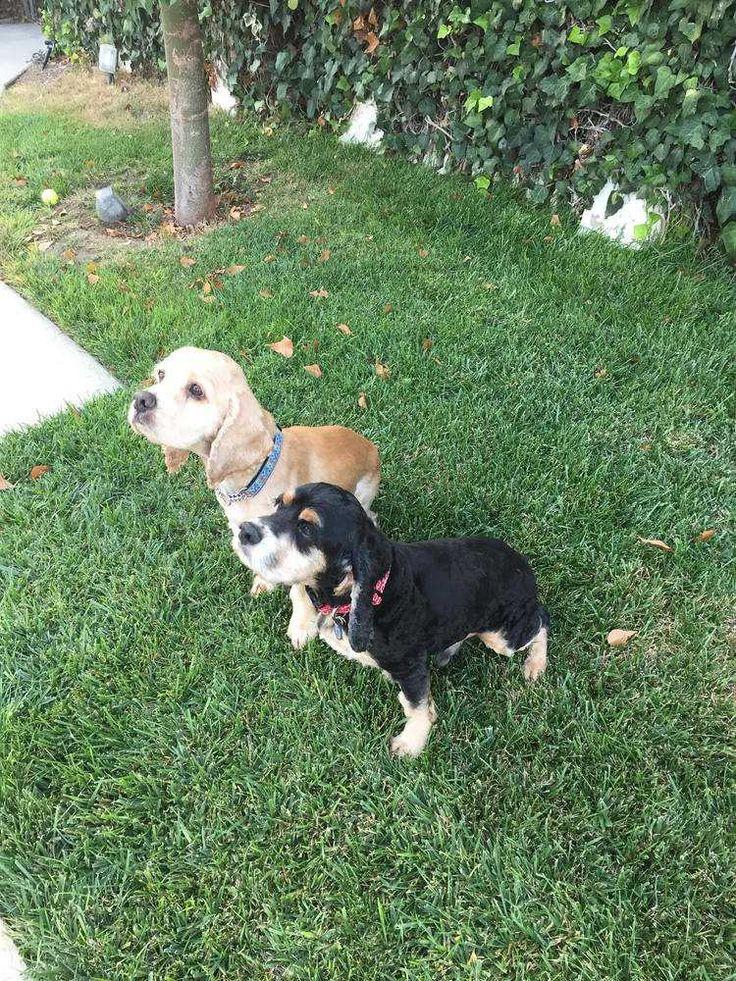 Cocker Spaniel dog for Adoption in Sylmar, CA. ADN-710969 on PuppyFinder.com Gender: Male. Age: Adult