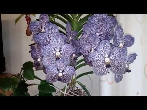 Cómo cuidar una Orquídea Vanda en casa (1de2) - YouTube