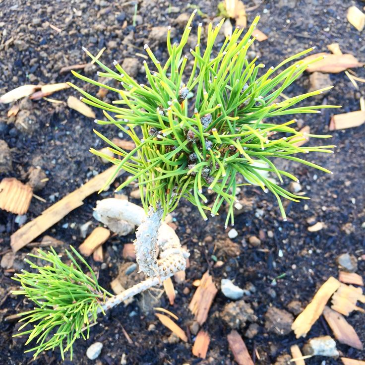 """Twisty Mugo Pine-2-4""""/yr Seedling that has been cultured with twists and turns for artistic appeal. Tough and durable."""