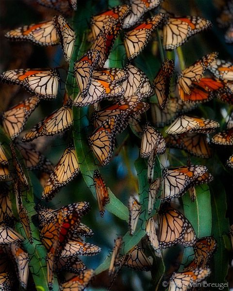 Libutron | Monarch butterflies roosting in grove.