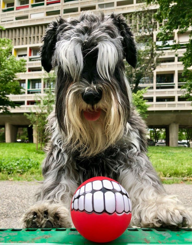 Pin by Julie Pontillo Henderson on Schnauzers Dogs
