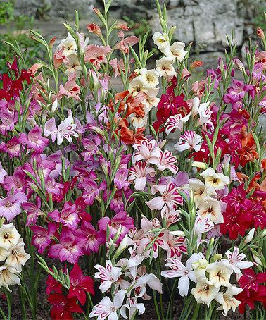Another great find on #zulily! Mixed Hardy Gladiolus Bulb - Set of 10 by Spring Hill Nursery #zulilyfinds