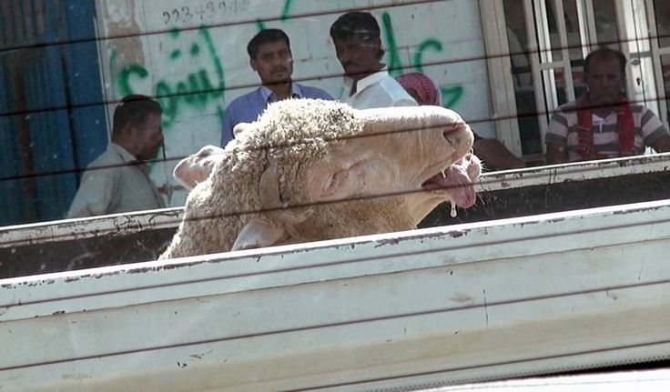One by one these frightened animals are illegally sold, tied up, and 'sacrificed' ... and cruel live export companies are cashing in.