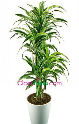 Lemon Çiçeği Bakımı, Yetiştirilmesi, budanması, sulanması, toprak, vitamin, ışık, ve rüzgar faktörlerine karşı direnci.