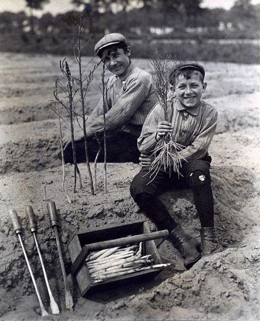 Boys harvesting asparagus. The Netherlands, Bergen op Zoom, 1911.