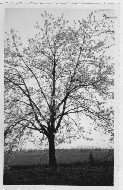 De Udense Kersenbomen in het wit   Foto ingestuurd door: Rini de Groot