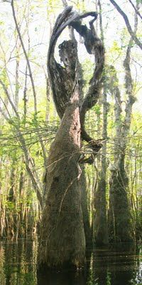 Cypress Tree Angel. (check the link - there are a ton of other great pics to go along with this one.)