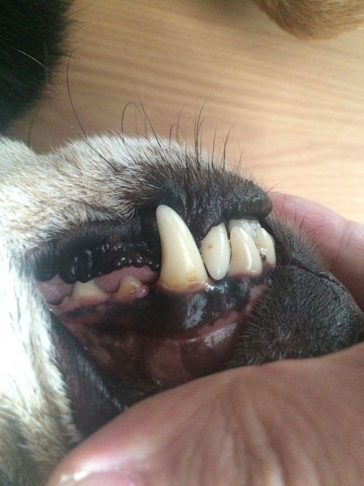 Zahnstein beim Hund kann man auch ohne Tierarzt entfernen