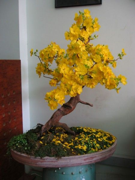 Bonsai Tree hoa mai Viet Nam