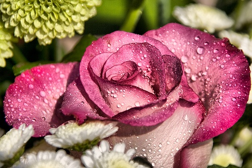 A close-up image of a pink rose with water droplets on it.