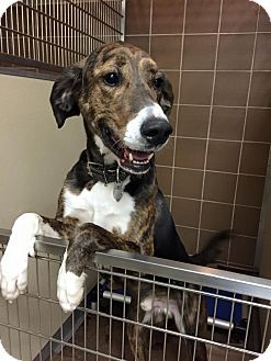 Port Washington, NY - Plott Hound/Great Dane Mix. Meet Louie, a dog for adoption. North Shore Animal League America (NSALA) 25 Davis Avenue 16 Lewyt Street Port Washington, NY 11050 (516) 883-7575 http://www.adoptapet.com/pet/11144378-port-washington-new-york-plott-hound-mix