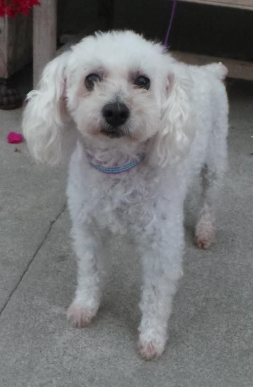 Poochon dog for Adoption in Seattle, WA. ADN447988 on