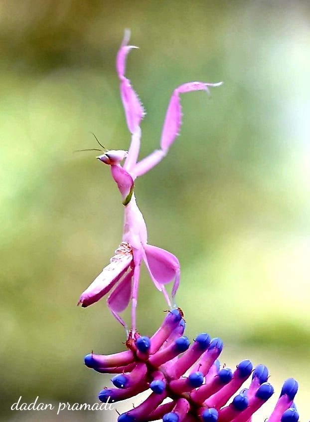 Dancing Queen Mantis Orchid By Dadan Pramadi Beautiful Bugs Weird Animals Animals Bugs