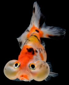 Goldfish Care - Simple Rules for Success