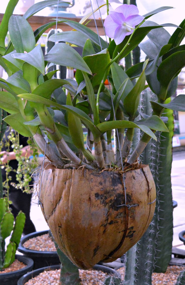 Thailand orchid coconut planter (Wil 5876)