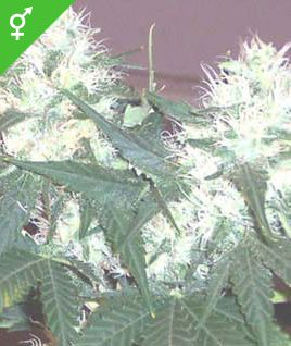 WEED SEED SHOP OFFERS REGULAR, FEMINIZED AND AUTOFLOWERING CANNABIS SEEDS, FREE SHIPPING AND SECURE PAYMENT. THE WEED SEED SHOP COLLECTION CONTAINS THE MOST CHEAP CANNABIS SEEDS AVAILABLE ONLINE. ONLY WITH US YOU CAN BUY 5 FEMINIZED CANNABIS SEEDS FOR LESS THAN €15!