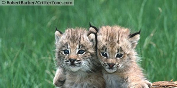 Petition: SAVE CANADA LYNX FROM EXTINCTION IN WASHINGTON STATE