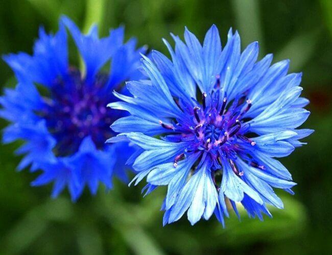 Image Result For German National Flower Bachelor Button Flowers Blue Flowers Bachelor Buttons
