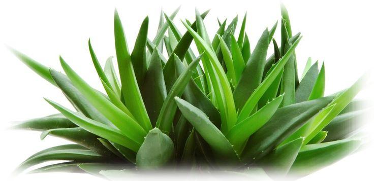 """Vechii egipteni si chinezi o numeau """"elixirul tineretii"""", """"planta nemuririi"""" sau """"remediu armonios"""". #Aloe Vera este o planta medicinala care are efecte benefice asupra sanatatii si totodata este principalul ingredient utilizat in industria #cosmetica. Este o planta perena, face parte din familia Liliaceae (impreuna cu binecunoscutele rude ca usturoiul, ceapa, liliacul, crinul) si este deseori asociata cu un cactus datorita adaptarii sale extraordinare in regiunile desertice..."""