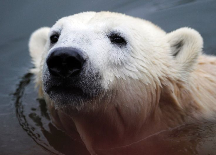 one of the last photos of knut, famous polar bear from the berlin zoo before his death