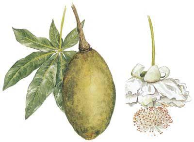 Leaf, fruit and Blossom of African Baobab Tree - Adansonia digitata. + info on tree.