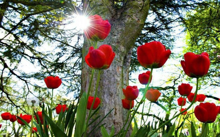 beautiful picture desktop background widescreen red tulip flower