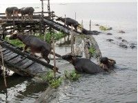 Zwemmende waterbuffels onderweg naar Loksado. #Kalimantan #Borneo #Indonesie
