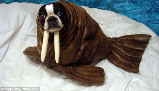 Wal-ruff! He may look slightly startled but Echo stops and poses for the camera in its warm and cosy walrus outfit