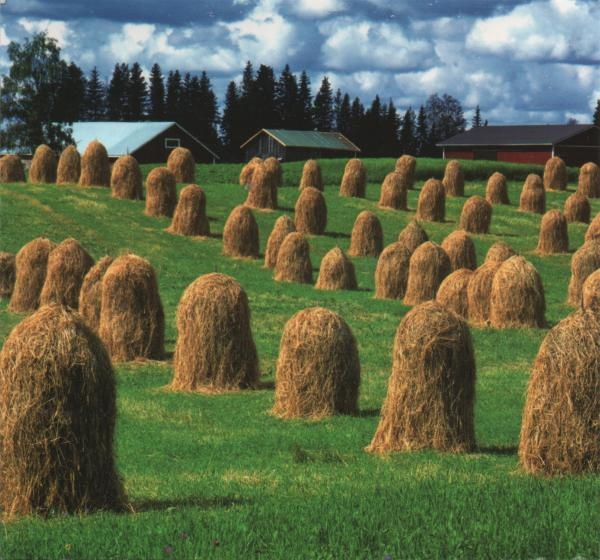 "Heinäseipäät, ""hay poles"". Finnish countryside. You cannot see hay dried like this anymore."