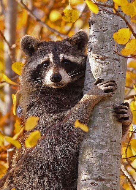 The raccoon stands out against the bark and the yellow and I just like the way it was taken