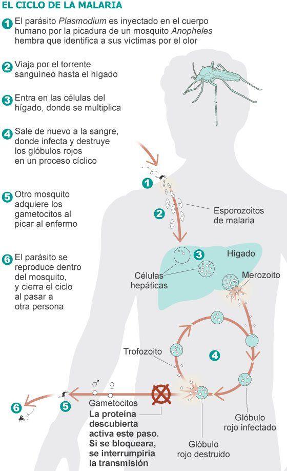 El ciclo de la malaria