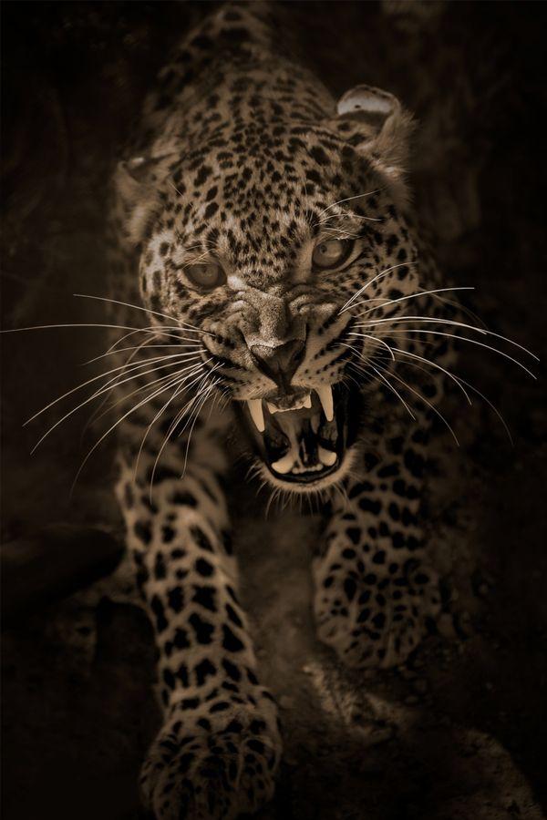 An Angry Leopard  Mohamed Hakem