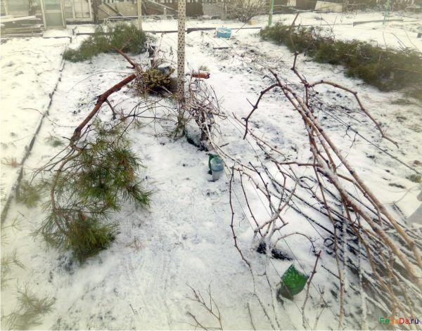 Укрытие винограда на зиму {ФЕрмер САдовод ДАчник}