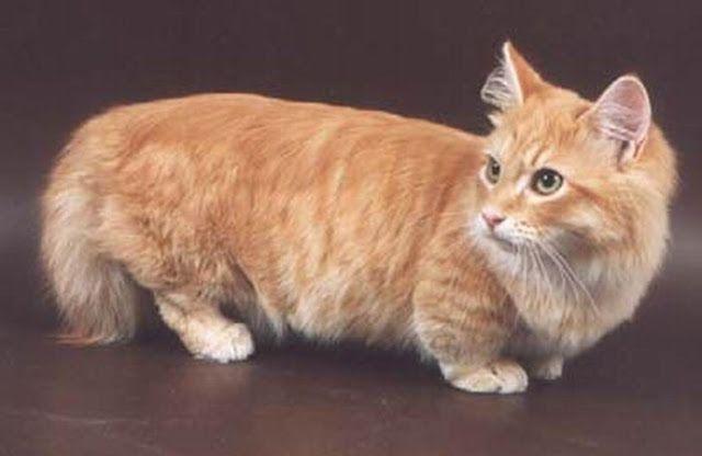 Munchkin Cat- The Corgi cat :)   Munchkins #Cats ...
