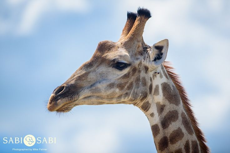 A close-up look at the profile of a handsome young male giraffe.