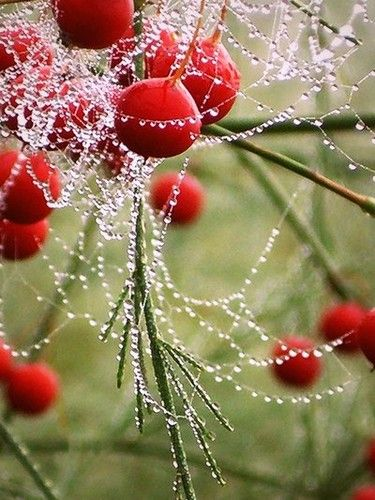 Dew drips on berries #dew #drops #berries #red Rose Hip, Spiderweb, Autumn Decor,  Rosehip, Dew Drop, Flower Gardens, Dewdrops, Mornings Dew, Spiders Web