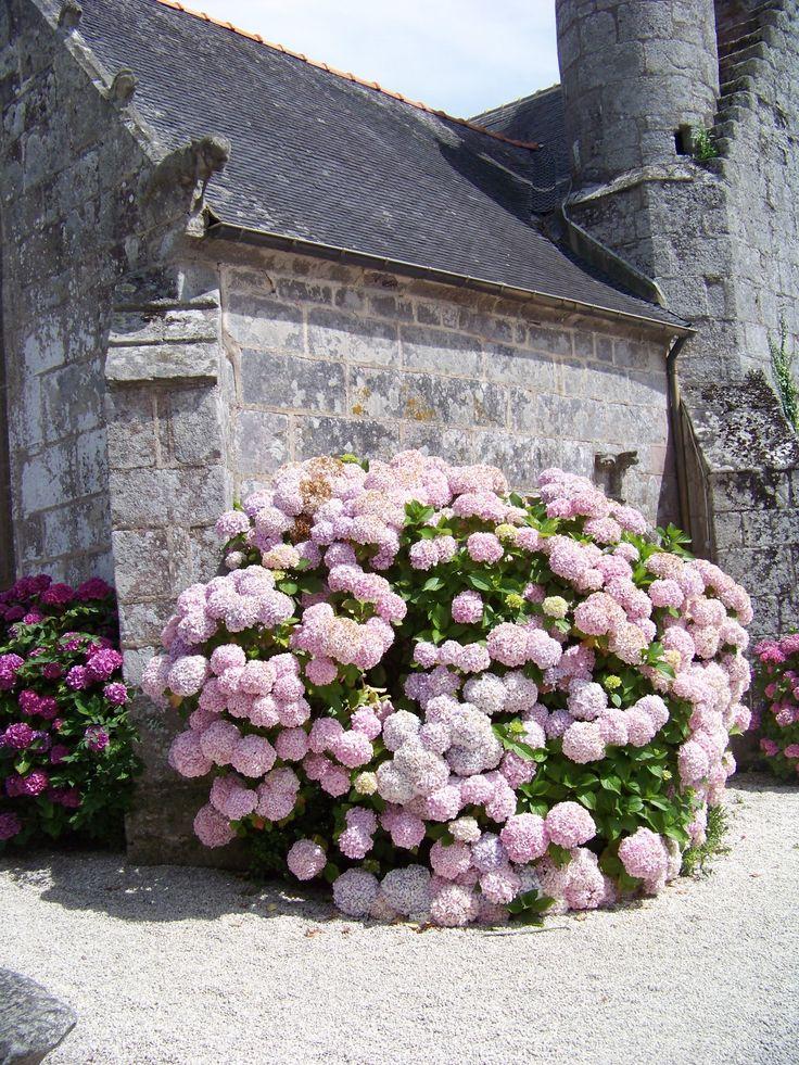 Bretagne, Hortensien