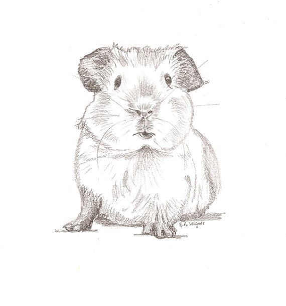 Guinea Pig Chum Pencil Drawing Pet Art Animal Nursery